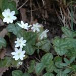 anémone hépatique blanche(2) gorges de la Jonte Peyreleau(aveyron)